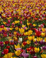 Spring Pink and Yellow Tulips