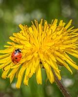Ladybug On A Dandelion Flower