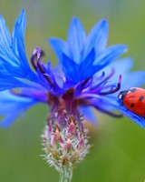 Ladybug On A Blue Cornflower Plant