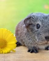Super Cute Baby Guinea Pig
