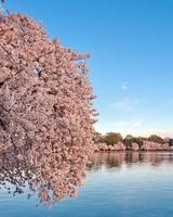 Washington DC Cherry Blossom