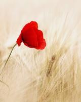 Red Poppy, Golden Wheat Field