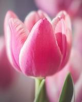 Cute Pink Tulip
