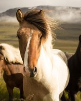 Iceland Horses