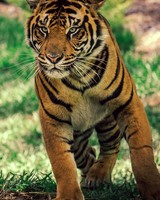 Savanna Tiger Wildlife