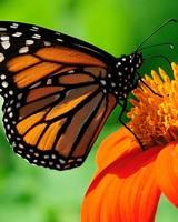 Butterfly wallpaper 1