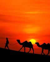 Arabian Sunset Camels