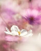 Cosmos Flowers Bokeh