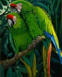 Animals - Military Macaws