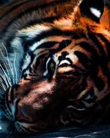 Tiger Closeup