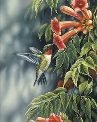 Animal - Summer Ruby - Ruby Throated Hummingbird