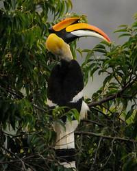Great Hornbill 02