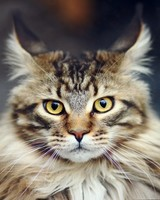 Maine Coon Cat Portrait