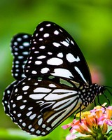 Butterfly wallpaper 1
