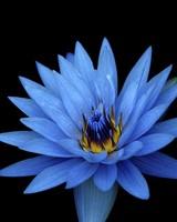 Sony Xperia Z Stock Blue Flower