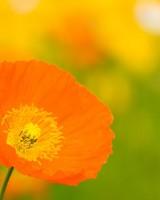 Poppies Closeup