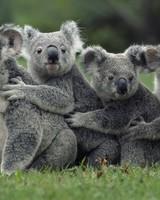 Funny Cute Koalas