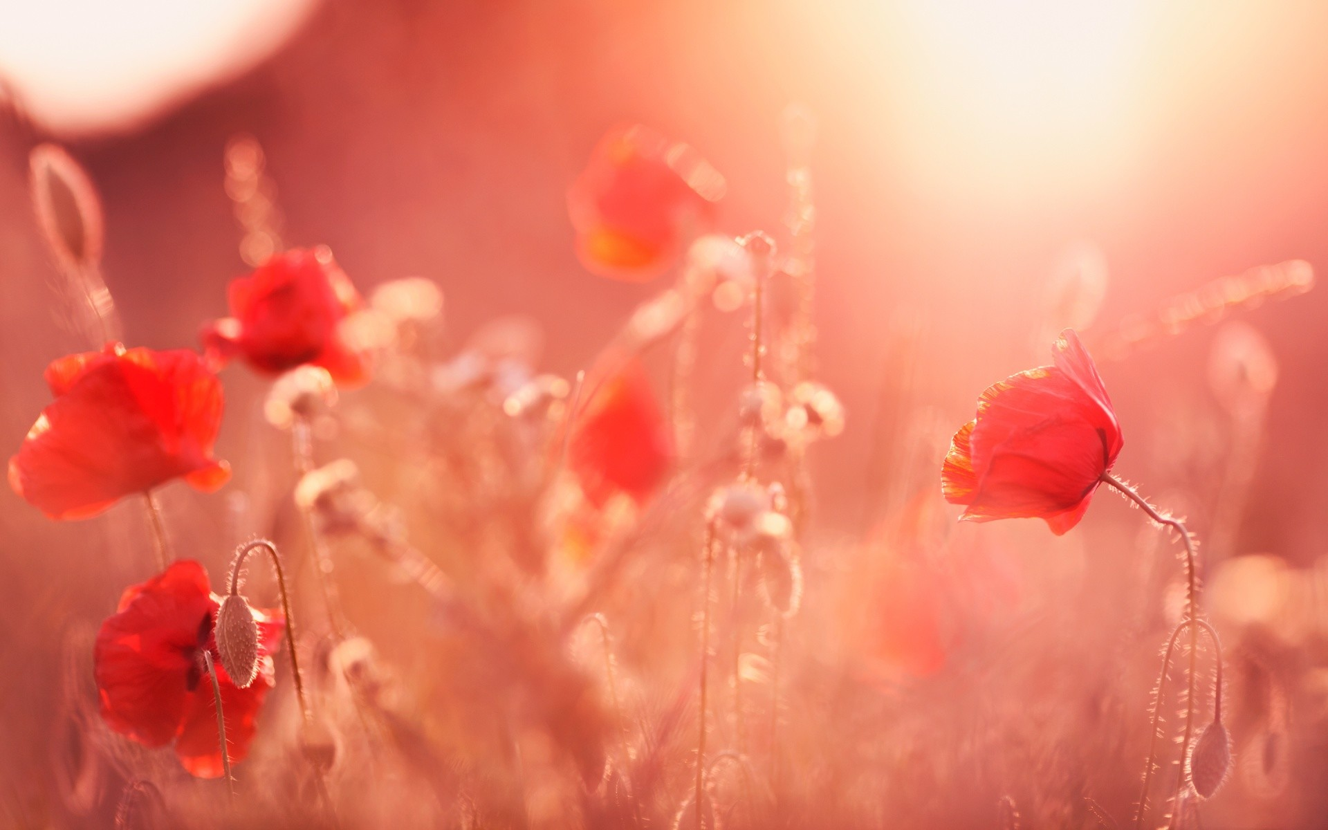 Free Poppy Flowers Summer Light phone wallpaper by mayfrae71