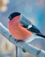 Bullfinch Winter