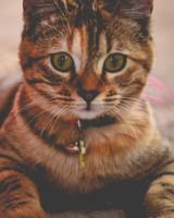 Striped Lying Kitten