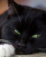 Black Lying Cat