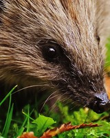 Hedgehog wallpaper 1