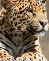 Lying Jaguar