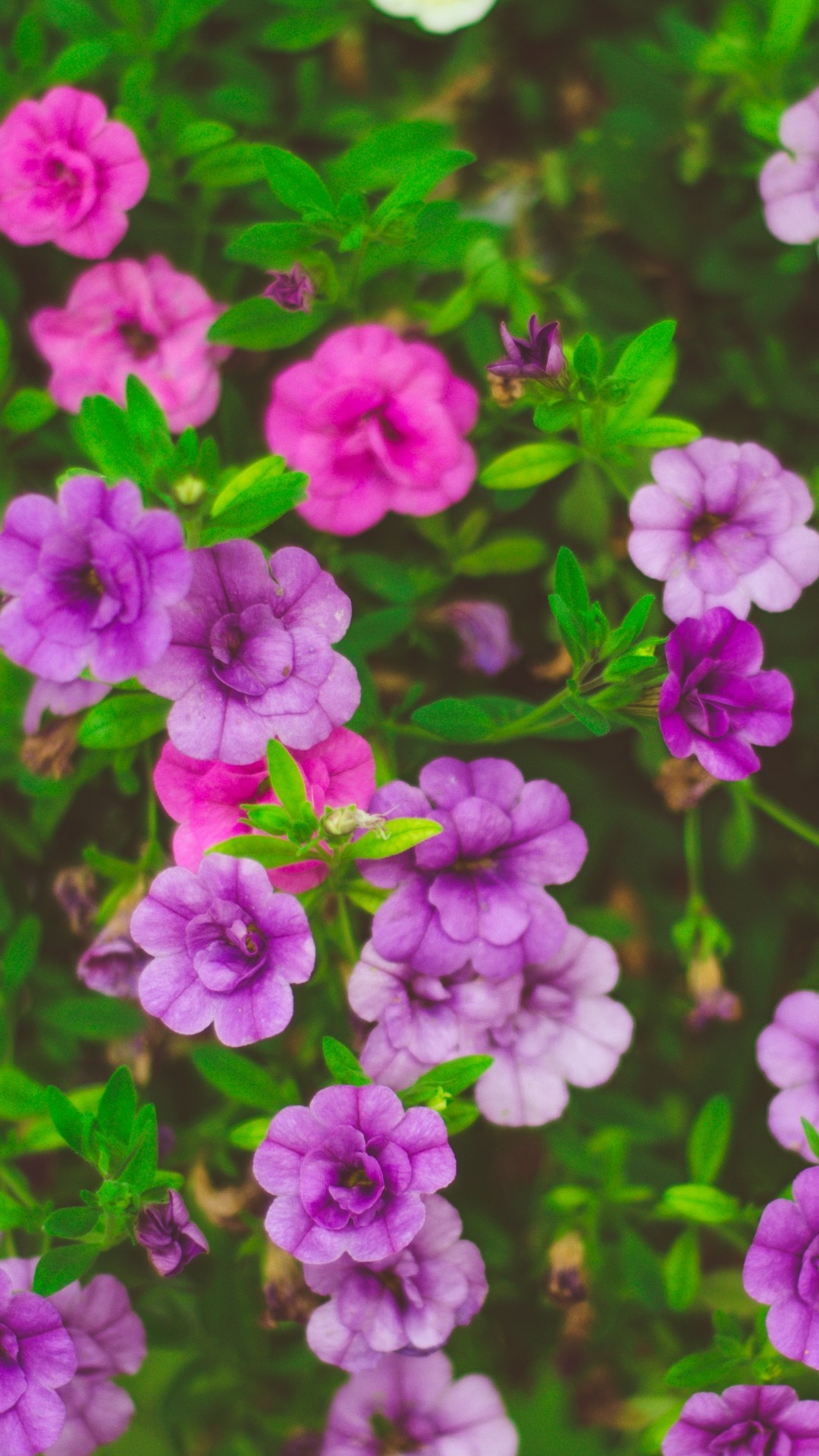 Free Purple Flowers phone wallpaper by fblairswife