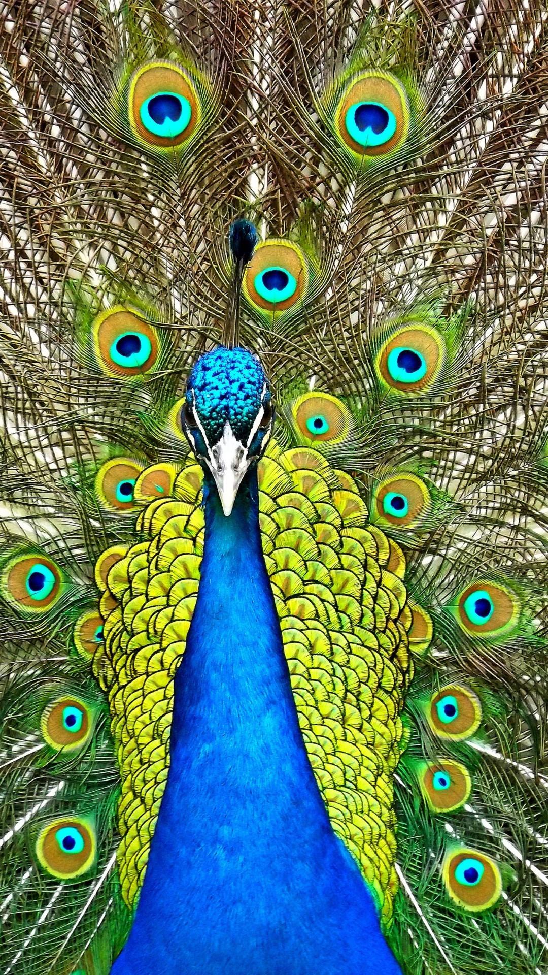 Free Peafowl phone wallpaper by lulu227
