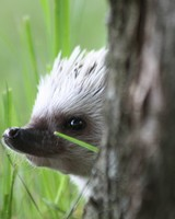 Hedgehog peep out wallpaper 1