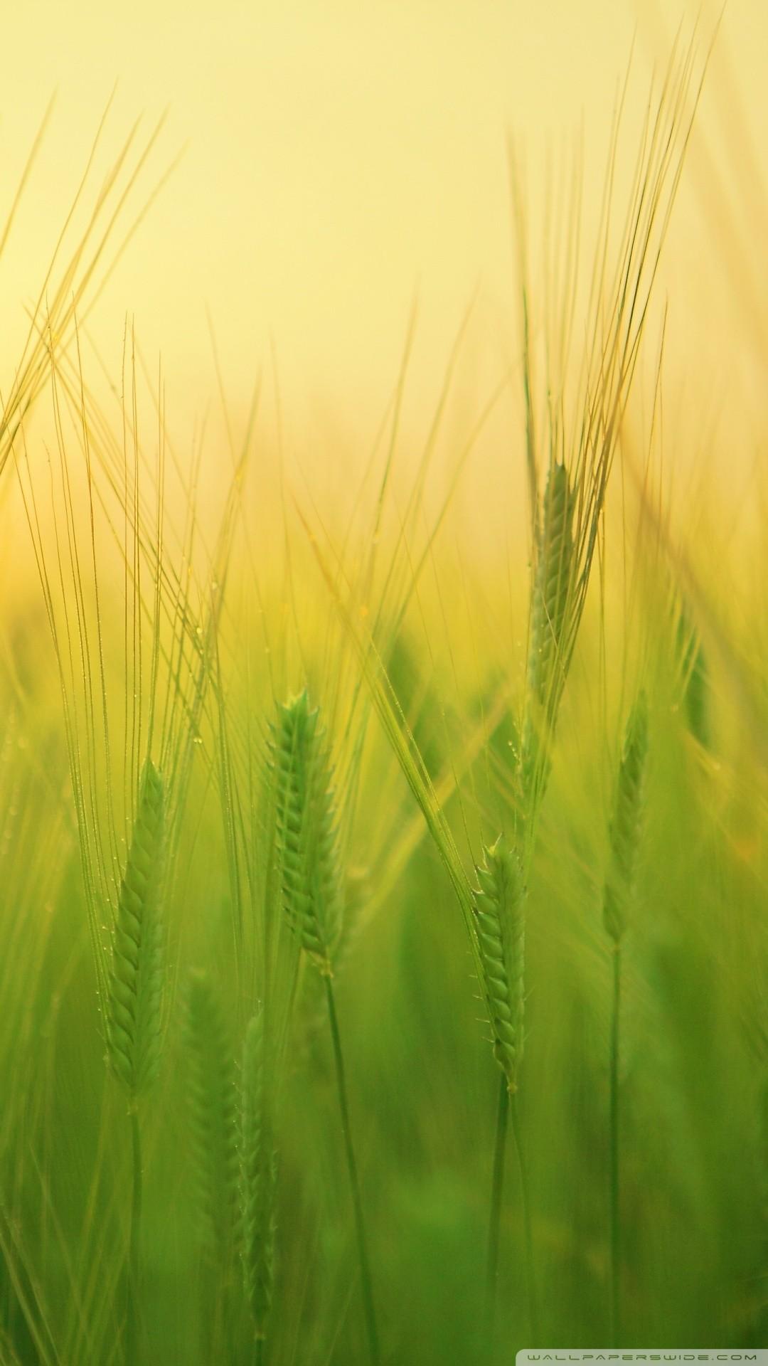 Free Green Barley Field phone wallpaper by oba10