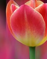 Tulips Bokeh