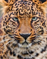 Young Leopard wallpaper 1