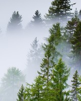 Conifer Forest, Mist, Rainy Day