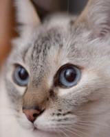 Cat, Muzzle, Blue eyes