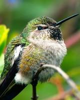 Fluffy Hummingbird
