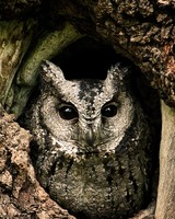 Collared Scops Owl, Nest, Tree Hole