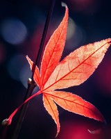 Red Japanese Maple Leaf Fall