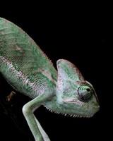 Veiled Chameleon, Old World Lizards