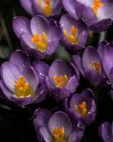 Purple Snowdrops