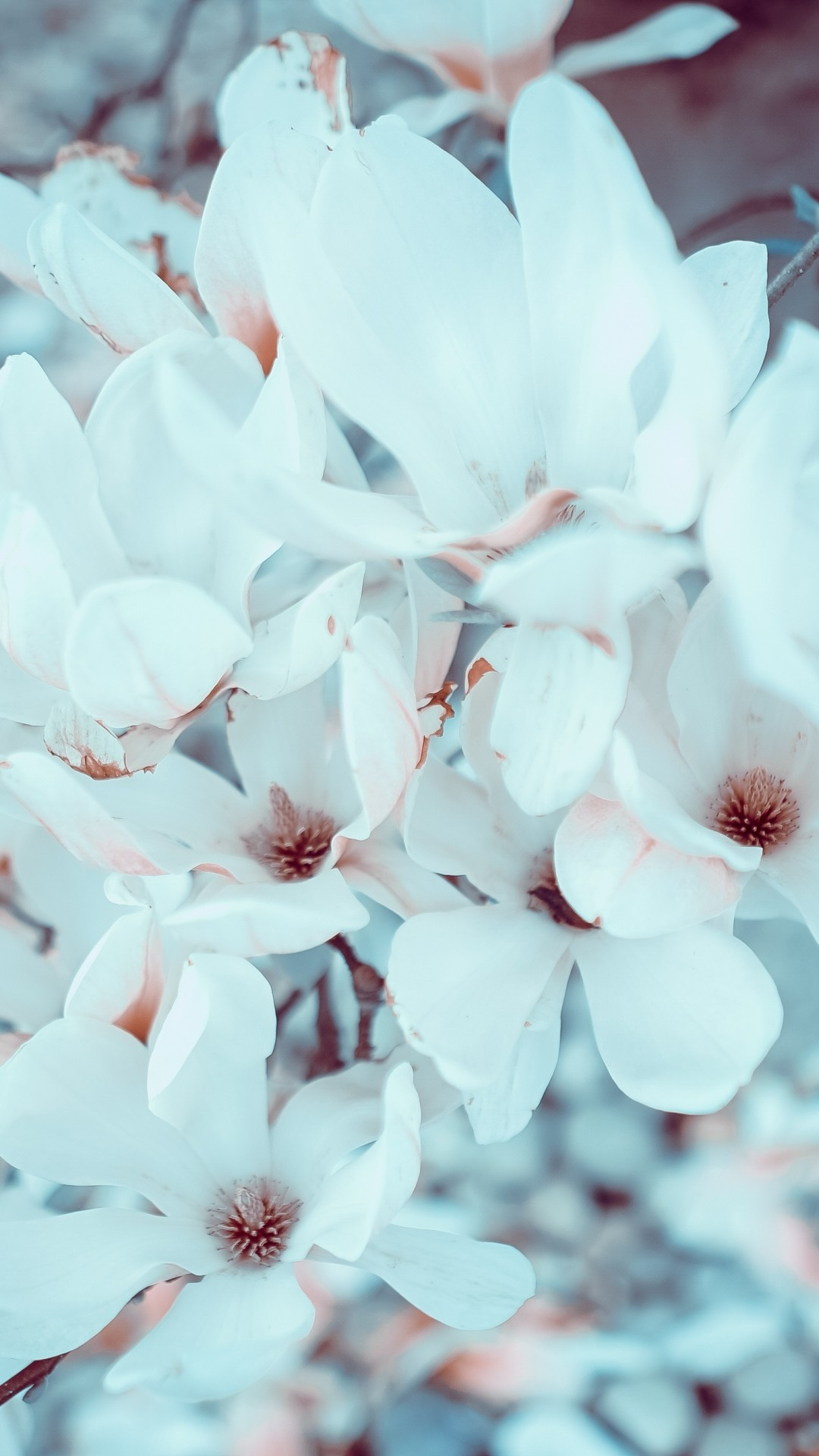 Free Magnolia Flowers phone wallpaper by csmhoward
