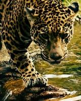 Leopard wallpaper 1