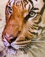 Tiger, Muzzle