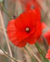Red Poppy Field Flowers