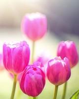 Spring Tulips, Sunshine