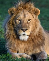 African Young Male Lion
