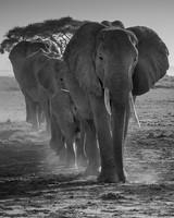 A Herd of African Elephants Walking in a line