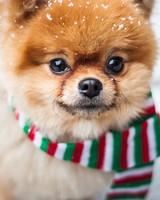 Pomeranian Dog, Outdoor, Winter