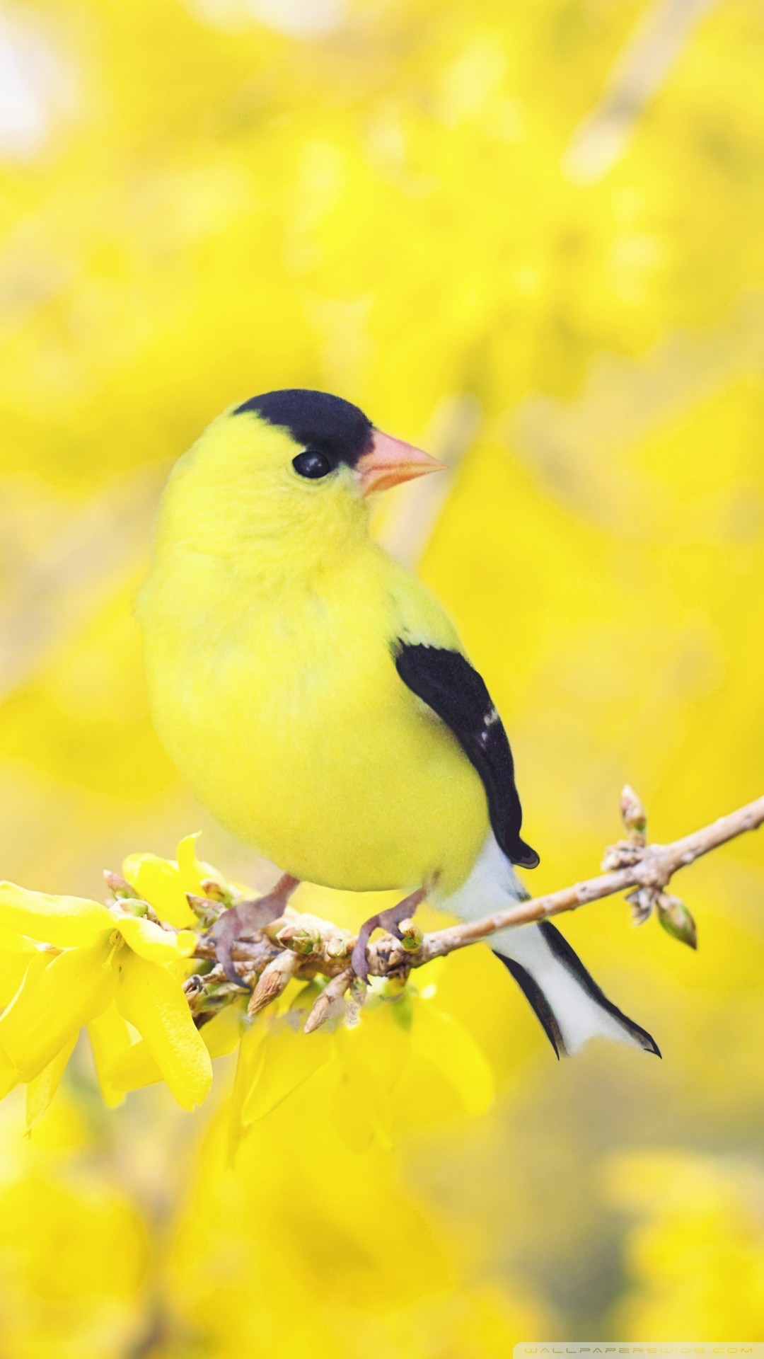 Free Black and Yellow Bird, Forsythia Flowers, Spring phone wallpaper by zarivia
