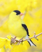 Black and Yellow Bird, Forsythia Flowers, Spring